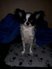 Bildhübsche Typvolle Langhaar Chihuahua Hündin