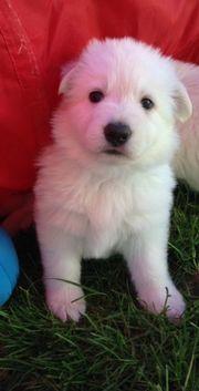 Weissen Schäferhund Welpen