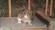 Widder Kaninchen Sammy 1 5