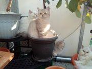 5 Selkirk Rex Kitten suchen