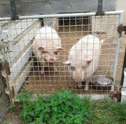 2 Schweine in