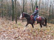 American Paint-Horse Wallach mit vollen