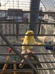 Kanarienvögel abzugeben nestjunge