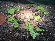Nur noch 5 Griechische Landschildkröten-