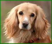 Luba - Cocker-Spaniel - 12 Jahre - Tierhilfe