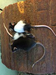 Futter Mäuse