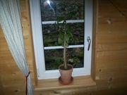 Kaktus 60 cm ca 5
