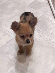 3 zauberhafte Chihuahua-