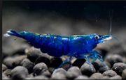 Blue Dream Garnelen