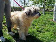Pauline - zottelige Hirtenhund-