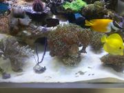 Meerwasser Koralle euphyllia
