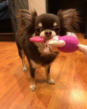 Traumhaft schöne Chihuahua Puppe Mädchen
