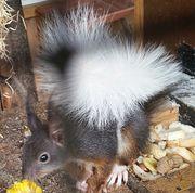 Europäische Eichhörnchen v.
