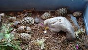 Griechische Landschildkröten NZ2016+