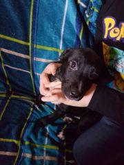 Labrador /Boxer/OEB-