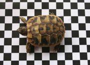 Griechische Landschildkröten Babys,