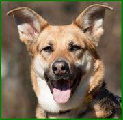 Ira 6 Jahre - Schäferhund-Collie-Shepherd-Mix - Tierhilfe