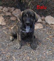 Balu, toller Hundemann