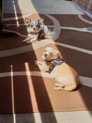 Chihuahua Paar