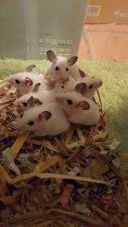 VZM Mäuse platinium