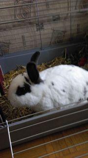 Zwei Kaninchen abzugeben