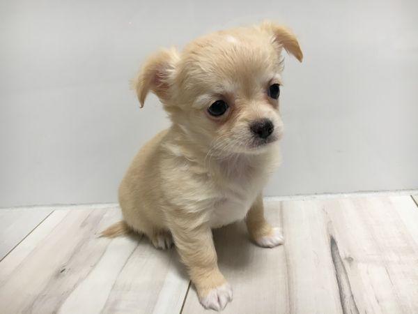 zuckersüße reinrassige Chihuahuahündin