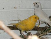 4 Kanarienvögel Kanarien in weis