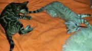 Snow Bengal Kitten XXL Rosetten