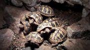 8 kleine griechische Landschildkröten abzugeben