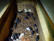Ratten ausgewachsen Futtertiere