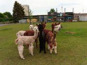 Alpakas zwecks Herdverkleinerung