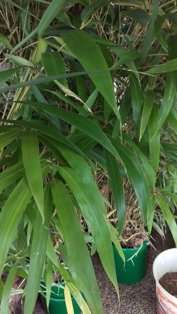 Bambus Pflanze Pseudosasa Japonica 7 M Rhizomsperre Hdpe Folie U