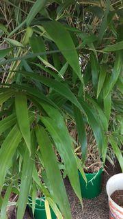 Bambus Pflanzen Garten Gunstige Angebote Quoka De
