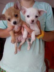 2 kleine Chihuahua