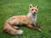 Fuchs ausgestopft
