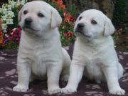Weiße Labradorwelpen aus