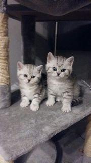 Wunderschöne BKH Kitten zum Verkauf