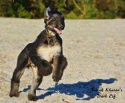 Afghanischer Windhund Rüde
