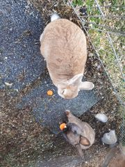 2 Kaninchen kostenlos abzugeben in